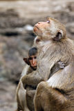 η οικογένεια μωρών καλλωπίζει τη μητέρα πιθήκων macaque της Στοκ Εικόνες