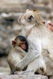 η οικογένεια μωρών καλλωπίζει τη μητέρα πιθήκων macaque της Στοκ Εικόνα