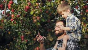 Η οικογένεια συγκομίζει τα μήλα απόθεμα βίντεο