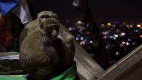 Η οικογένεια των πράσινων πιθήκων προετοιμάστηκε για για τη νύχτα απόθεμα βίντεο