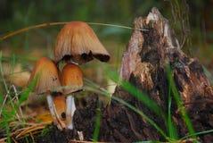 Η οικογένεια των toadstools Στοκ φωτογραφία με δικαίωμα ελεύθερης χρήσης