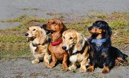 Η οικογένεια Dachshund Στοκ Εικόνα