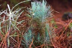 Η οικογένεια gymnosperms Μπλε πολύβλαστος κλάδος Κλάδοι του FIR Κομψή ανασκόπηση Κωνοφόρο δασικό δάσος ομίχλης της Misty μέσα Στοκ φωτογραφίες με δικαίωμα ελεύθερης χρήσης
