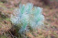 Η οικογένεια gymnosperms Μπλε πολύβλαστος κλάδος Κλάδοι του FIR Κομψή ανασκόπηση Κωνοφόρο δασικό δάσος ομίχλης της Misty μέσα Στοκ φωτογραφία με δικαίωμα ελεύθερης χρήσης