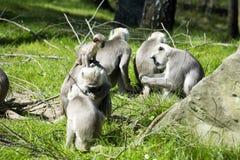 Η οικογένεια Hanuman Langur, entellus Semnopithecus στην Ινδία είναι Στοκ Εικόνες