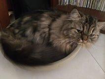 Η οκνηρή γάτα κατσάρωσε επάνω στο κύπελλο Στοκ Φωτογραφίες