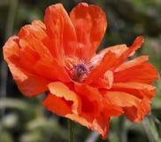 Η Ολυμπία Orange Oriental Poppy, ή Papaver orientale Στοκ εικόνα με δικαίωμα ελεύθερης χρήσης