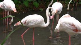 Η ομάδα άσπρου φλαμίγκο είναι στάση βρίσκει τα τρόφιμα και το περπάτημα στο νερό φιλμ μικρού μήκους