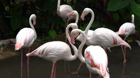 Η ομάδα άσπρου φλαμίγκο είναι στάση βρίσκει τα τρόφιμα και το περπάτημα στο νερό απόθεμα βίντεο