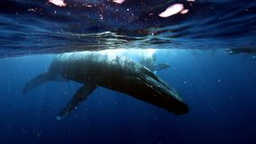 Η ομάδα διαφορετικής κοντινής humpback μητέρας φαλαινών και ο νέος μόσχος ποτίζουν πλησίον την επιφάνεια απόθεμα βίντεο
