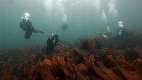 Η ομάδα δυτών κολυμπά μεταξύ των φυκιών υποβρύχιων στο βυθό της Θάλασσας του Μπάρεντς φιλμ μικρού μήκους