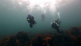 Η ομάδα δυτών κολυμπά μεταξύ των φυκιών υποβρύχιων στο βυθό της Θάλασσας του Μπάρεντς απόθεμα βίντεο