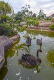 Η ομάδα μαύρων κύκνων κολυμπά στον κήπο στοκ εικόνα