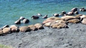 Η ομάδα οδόβαινων στηρίζεται στις ακτές του αρκτικού ωκεανού στη νέα γη στη Ρωσία φιλμ μικρού μήκους