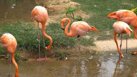 Η ομάδα ρόδινου φλαμίγκο είναι στάση βρίσκει τα τρόφιμα και το περπάτημα στο νερό φιλμ μικρού μήκους