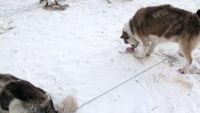 Η ομάδα malamute γεροδεμένος Εσκιμώος σκυλιών ελκήθρων τρώει το κρέας βόρειου πόλου στην Αρκτική απόθεμα βίντεο