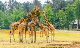 Η ομάδα nubian giraffes που τρώνε το σανό από ένα καλάθι πύργων, ζωική σίτιση ζωολογικών κήπων, διακινδύνεψε αυστηρά ζωικό specie στοκ φωτογραφία με δικαίωμα ελεύθερης χρήσης
