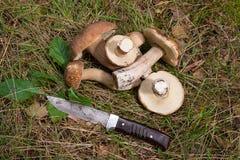 Η ομάδα porcini ξεφυτρώνει Boletus edulis, CEP, κουλούρι πενών, porc Στοκ Φωτογραφία