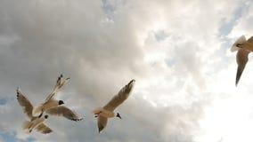 Η ομάδα seagulls μύγας στον ουρανό με τα σύννεφα και τρώει το ψωμί απόθεμα βίντεο