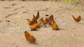 Η ομάδα πεταλούδας απορροφά τρώει το μετάλλευμα και τις θρεπτικές ουσίες στην άμμο με το έντομο απόθεμα βίντεο