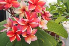 Η ομάδα το λουλούδι Plumeria Στοκ Εικόνα