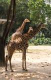 Η ομάδα giraffes περπατά στο πάρκο σαφάρι Στοκ Φωτογραφίες