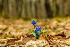 Η ομορφιά άνοιξη siberica Scilla τη δασική άνοιξη είναι στην πόρτα Στοκ Φωτογραφίες
