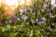 Η ομορφιά άνοιξη siberica Scilla τη δασική άνοιξη είναι στην πόρτα Στοκ εικόνα με δικαίωμα ελεύθερης χρήσης