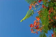 Η ομορφιά ενός κόκκινου λουλουδιού ή ενός pulcherrima Λ Caesalpinia Sw Στοκ εικόνες με δικαίωμα ελεύθερης χρήσης