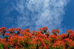 Η ομορφιά ενός κόκκινου λουλουδιού ή ενός pulcherrima Λ Caesalpinia Sw Στοκ εικόνα με δικαίωμα ελεύθερης χρήσης