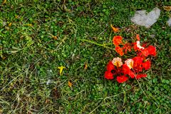 Η ομορφιά ενός κόκκινου λουλουδιού ή ενός pulcherrima Λ Caesalpinia Sw στοκ εικόνα
