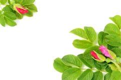 η ομορφιά πράσινη βγάζει φύλ& Στοκ Εικόνα