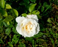 Η ομορφιά στα τριαντάφυλλα Στοκ εικόνα με δικαίωμα ελεύθερης χρήσης