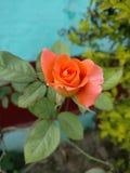 Η ομορφιά του πορτοκαλιού αυξήθηκε Στοκ Εικόνες