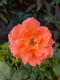 Η ομορφιά του πορτοκαλιού αυξήθηκε Στοκ φωτογραφία με δικαίωμα ελεύθερης χρήσης