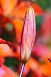 η ομορφιά των κήπων - κρίνος. οφθαλμός του κόκκινου liliu στοκ εικόνα με δικαίωμα ελεύθερης χρήσης