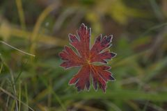 Η ομορφιά φθινοπώρου του παγετού στα φύλλα στοκ εικόνες