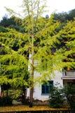 Η ομορφιά φθινοπώρου Ginkgo Biloba στην πόλη Nanxing Στοκ εικόνες με δικαίωμα ελεύθερης χρήσης