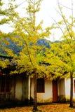 Η ομορφιά φθινοπώρου Ginkgo Biloba στην πόλη Nanxing Στοκ Εικόνα