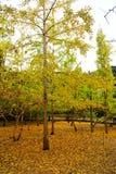 Η ομορφιά φθινοπώρου Ginkgo Biloba στην πόλη Nanxing Στοκ Εικόνες