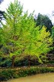 Η ομορφιά φθινοπώρου Ginkgo Biloba στην πόλη Nanxing Στοκ Φωτογραφία