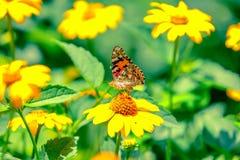 Η ομορφότερη πεταλούδα Στοκ Εικόνα