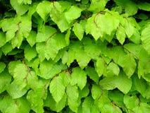 η οξιά βγάζει φύλλα Στοκ Φωτογραφίες