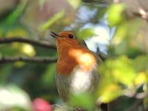 Η οργισμένη Robin στοκ εικόνες με δικαίωμα ελεύθερης χρήσης
