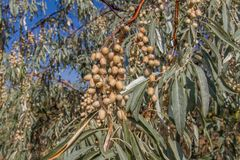 Η ουκρανική ελιά, είναι ένα pshat Στοκ φωτογραφία με δικαίωμα ελεύθερης χρήσης