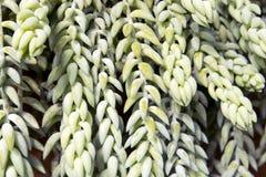 Η ουρά ή το υποζύγιο ` s γαιδάρων morganianum Sedum παρακολουθεί - ένα είδος ανθίζοντας φυτού στην οικογένεια Crassulaceae Στοκ φωτογραφία με δικαίωμα ελεύθερης χρήσης