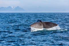 Η ουρά φαλαινών σπέρματος στον ωκεανό Στοκ φωτογραφία με δικαίωμα ελεύθερης χρήσης
