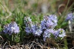 Η ουρανός-μπλε Βερόνικα  officinalis της Βερόνικα Στοκ εικόνα με δικαίωμα ελεύθερης χρήσης
