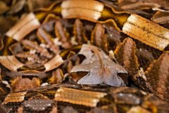 Η οχιά Gaboon, gabonica Bitis, Κονγκό, Αφρική Παγκόσμια ` s μακρύτερα φίδια, άποψη τέχνης στη φύση Python στο βιότοπο φύσης, Ινδί Στοκ Εικόνα