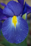 Η ολλανδική Iris με τις σταγόνες βροχής Στοκ φωτογραφία με δικαίωμα ελεύθερης χρήσης